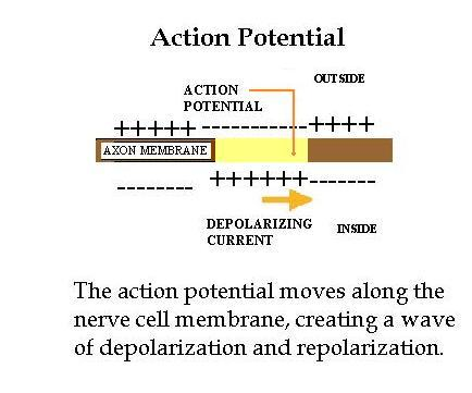 actionpotential2.jpg